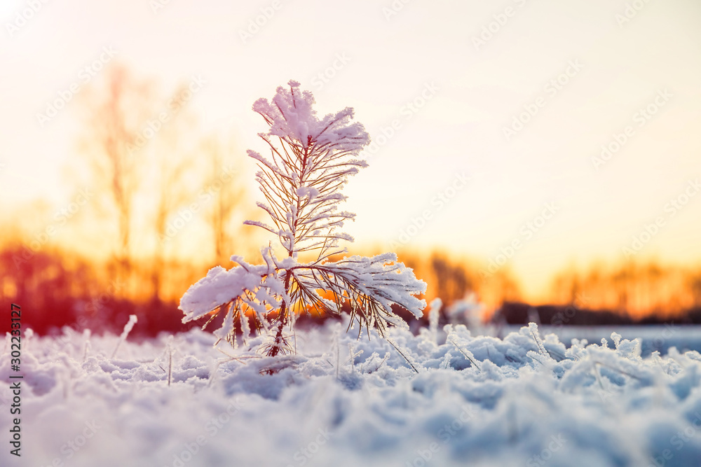 Fototapeta Winter scenery with snow covered small pine tree at sunset. Idyllic Christmas eve landscape.
