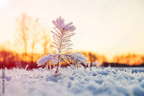 Obraz Winter scenery with snow covered small pine tree at sunset. Idyllic Christmas eve landscape.  - fototapety do salonu