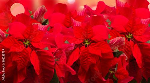 Cuadros en Lienzo  scarlet poinsettia flower or christmas star