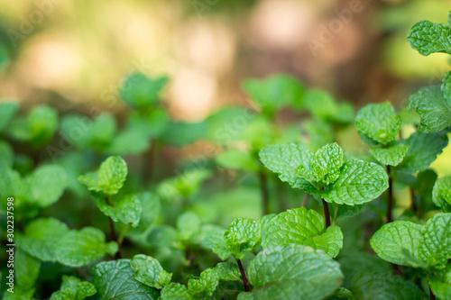 Obraz Fresh mint leaves in garden. Selective focus. - fototapety do salonu