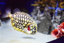 Unusual Yellow Fish With A Black Pattern And With Transparent Fins In Water