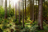 Fototapeta Las - Beautiful spruce forest in autumn with bright sun shining through the trees