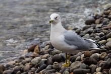 Seagull Walking Down Rocky Sho...