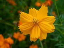 Close Up Three Cosmos Flower