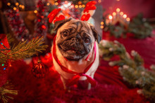 Portrait Of A Pug On New Year's Eve