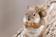American Red Squirrel  In Autumn