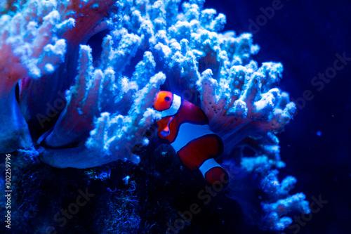 Fotografie, Tablou  Clownfish in the aquarium