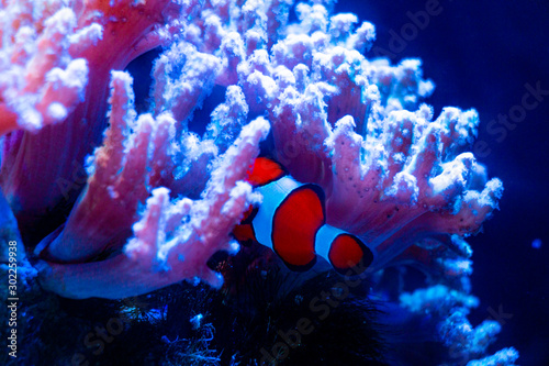 Clownfish in the aquarium Tablou Canvas