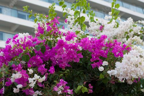 Fotografia Purple white Bougainvillea Flower photo on nature background .