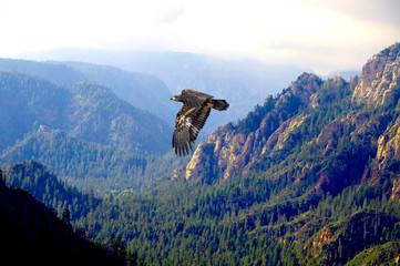 FototapetaBald Eagle Juvenile Over Breathtaking Canyon View
