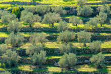 Terraced Olive Groves In Wadi Limoon Near The Palestinian Village Of Aboud, Ramallah And Al-Bireh Governorate, West Bank, Palestine
