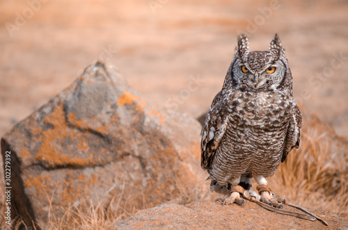 Obraz A rescued African spotted owl (africanus bubo) perched on a rock at a birds of prey show, South Africa - fototapety do salonu