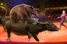 Performance Of Brown Bears Buf...