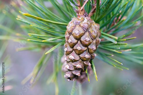Scots pine (Pinus sylvestris) tree cone Tablou Canvas