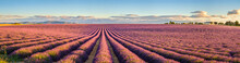 Rows Of Purple Lavender In Hei...