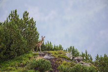 Reh (Capreolus Capreolus) Roe Deer