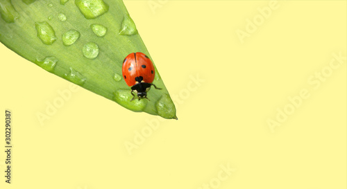 fototapeta na ścianę coccinelle sur feuille verte et goutte d'eau