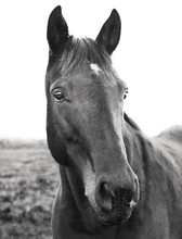 Portrait Of Horse In Field On ...