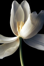 Detail Of White Tulip Open On ...