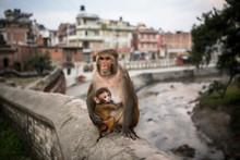 A Monkey And Baby At Pashupati...