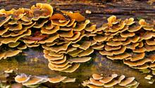 Orange Fungus On Tree Bark. Tree Fungus In The Autumn Season. Natural Pattern And Texture.