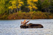 Bull Moose Swimming In The Lake