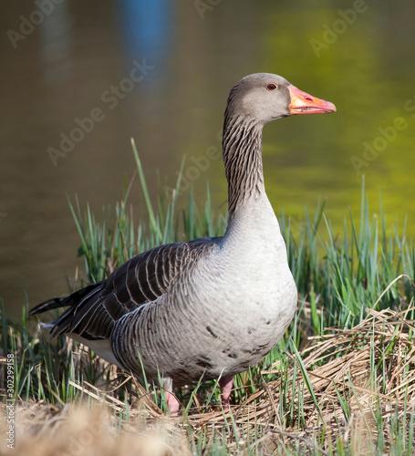 Photo Portrait of a threatening greylag goose (Anser anser)