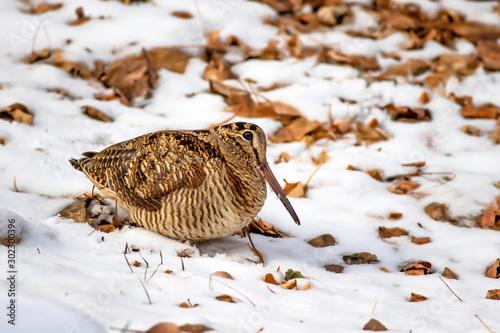 Fotografie, Obraz Camouflage bird woodcock