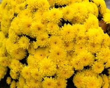 Yellow Chrysanthemums Background