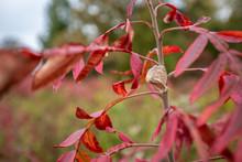Praying Mantis Egg Case On Autumn Meadow Foliage Us National Arboretum Washington Dc Usa
