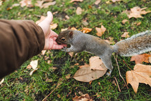 From Above Anonymous Male Giving Seeds To Adorable Squirrel Over Grass And Fallen Leaves In Autumn Park In London