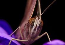 American Lady Butterfly Macro