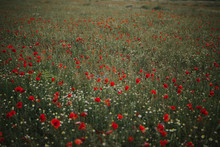 Wonderful Green Meadow With Lonely Cornflowers Among Plenty Red Poppies And White Chamomiles On Blurred Background Of Green Grass In Summer