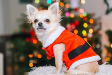 Cute Chihuahua Dog Wearing In ...