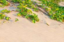 Small Green Plant Leaves On Sandy Beach