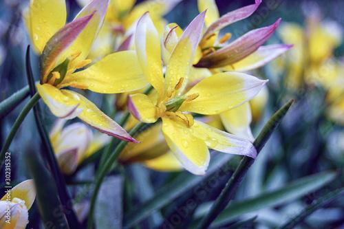 Fototapeta  Tulip Tarda (Tulipa dasystemon) delicate yellow spring flowers on rainy day