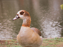 Egyptian Goose Duck Park Isolated Standing Closeup Flagey Brussels Belgium Animal Bird