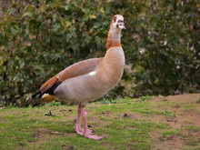 Egyptian Goose Duck Park Isola...