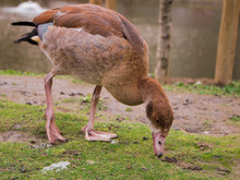 Egyptian Goose Duck Park Isolated Standing Closeup Flagey Brussels Belgium Animal Bird