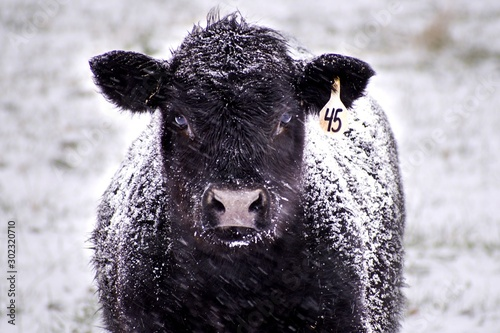 Photo Close-Up of a Black Angus Cow Covered in Snow