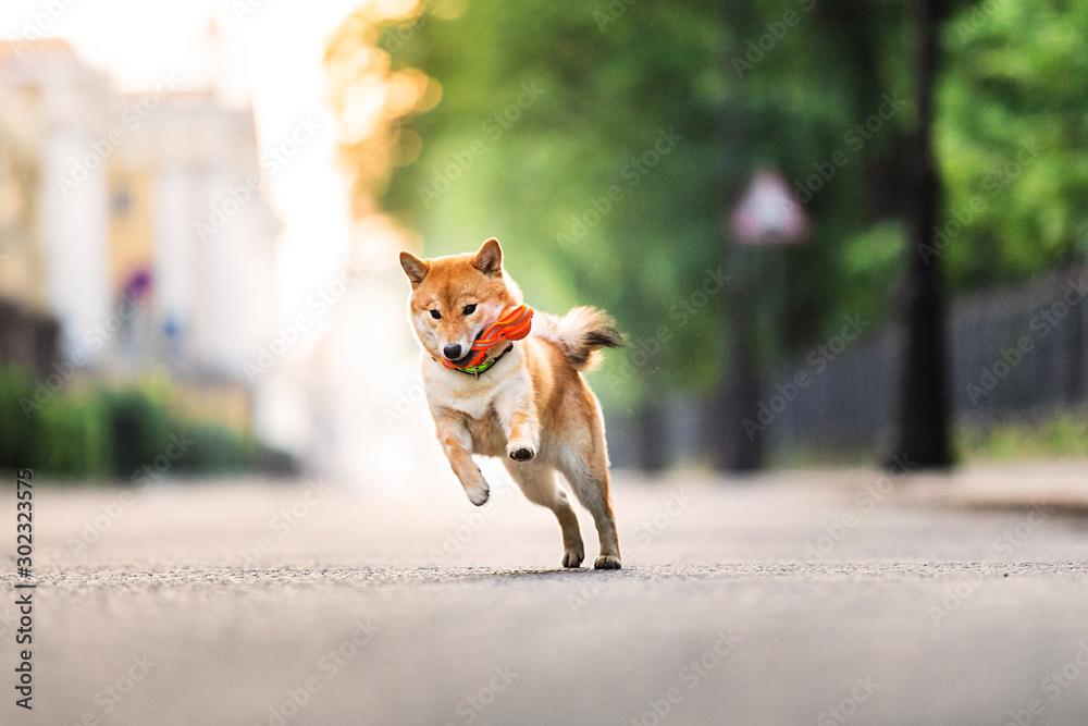 Fototapeta Funny dog running near park. Blurred green trees background