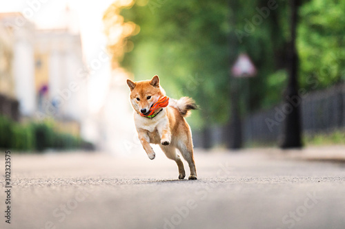 Funny dog running near park. Blurred green trees background Fototapete