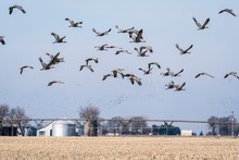 Sandhill Crane Migration Over ...