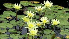 Yellow Waterlily Flowers On Po...