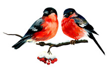 Two Thick Bullfinches