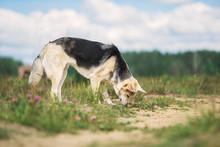 Intelligent Shepherd Dog Sniff...