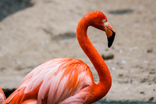 Pink Flamingo Stands Near The Pond.
