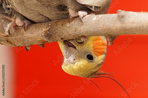 Vászonkép Closeup shot of a funny cockatiel perching on a tree branch with a red backgroun