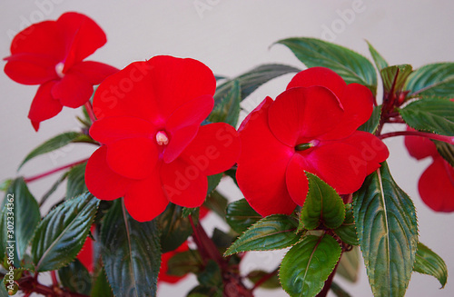 brightly red balsam decorative room flower Canvas Print