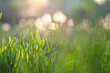Fresh green grass illuminated by sun rays, flares and colorful bokeh on blurred background. Abstract nature background. Blurred backdrop.